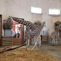 Állkapocstöréssel műtötték a budapesti Állatkert kis zsiráfját