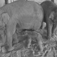 Gólyahír: videón az újszülött kiselefánt első lépései