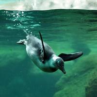 Téli olimpia: az Állatkertben feljöttek a dobogóra a pingvinek
