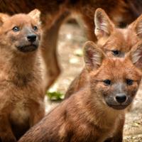 Kiplingnél vérszomjasak, az Állatkertben hancúrozó kiskutyák