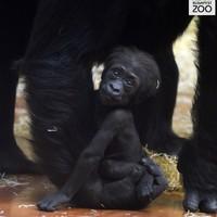 Gorillát győzött le a tigris az Állatkertben