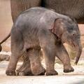 Elefánt és gorilla csapott össze az Állatkertben