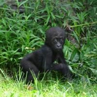 Van ok az ünneplésre: 9 hónapos a kis gorillakölyök, a papája 38 éves