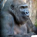 43 éves lett Liesel, a gorilla-matróna