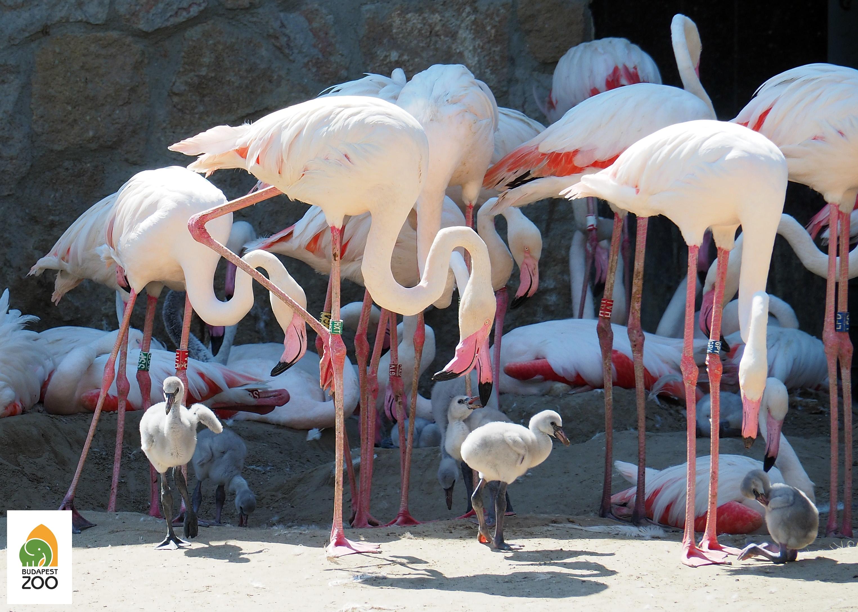 rozsas_flamingo06_foto_bagosi_zoltan_logo.jpg