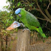 Őrtorony-papagáj