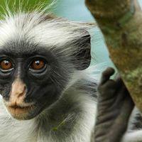 Arcfelismerő szoftver követ és véd veszélyeztetett főemlősöket