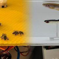 Robotok segítik a hal-méh kommunikációt