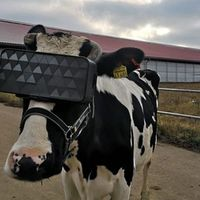 Virtuálisvalóság-sisakban jobban tejelnek a tehenek