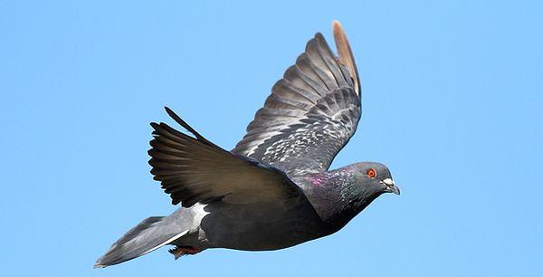 dron_pigeon0.jpg