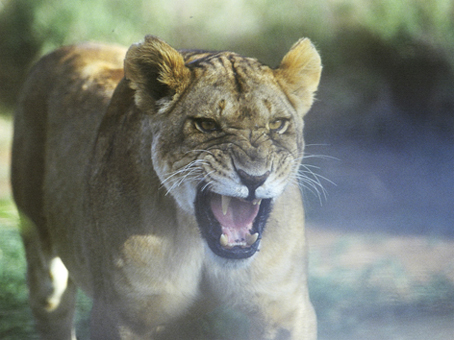 angry-lioness-lion-guardians.jpg