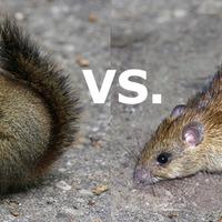 A patkány, a mókus és a cseléd
