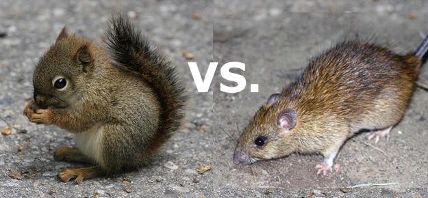 squirrel-vs-rat.png