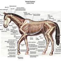 Állatorvosi ló