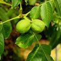 Dió levelek - Juglandis folium