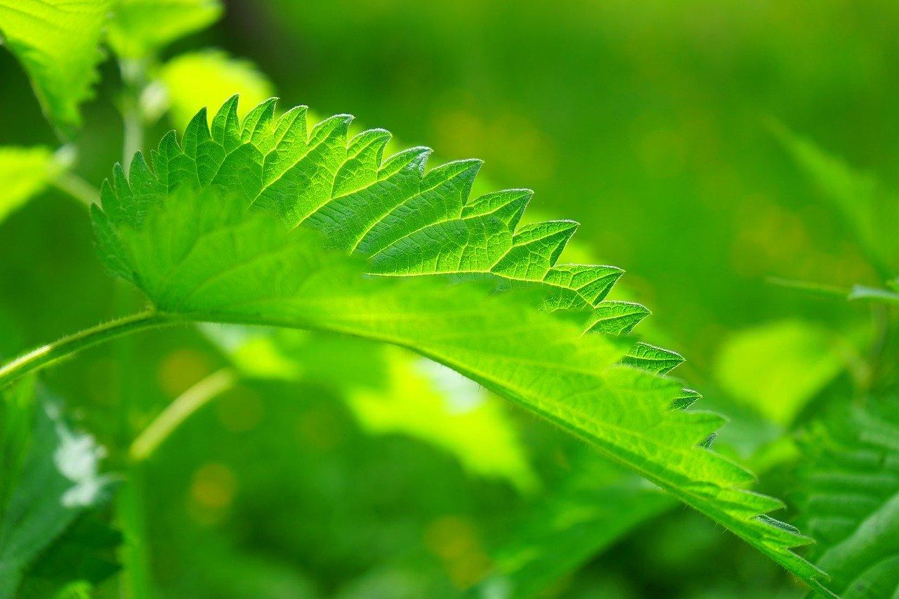 Reuma, reumás panaszok Növényi hatóanyagok