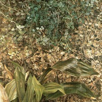 Két növény