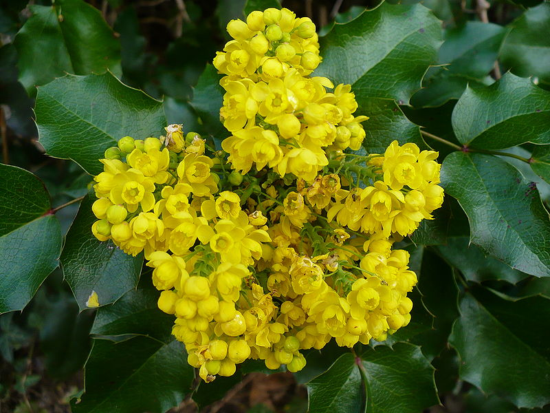 Mahonia_aquifolium_flowers_and_leaves.jpg