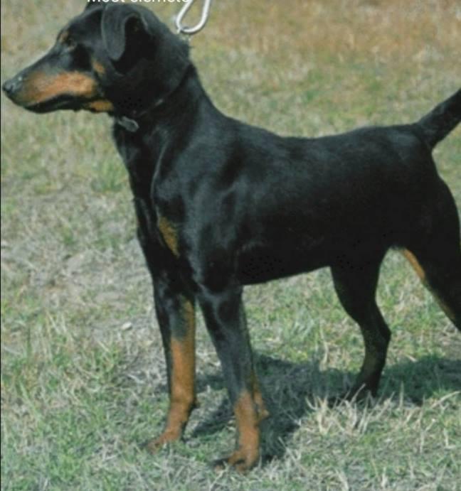 RIP!<br />Tegnap este Szigetváron tűnt el Maszat, a kutyus nem lát. Ha valaki látja kérem azonnal hívja a következő telefonszámot 06304548105<br />Köszönjük ha segítesz.<br />A kép illusztráció de nagyon hasonlít rá!<br /><br />