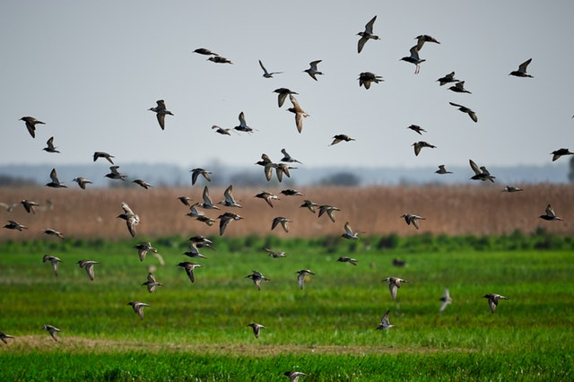 photo-of-a-flock-of-birds-flying-below-grass-field-2570171.jpg