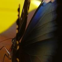 Tanulmány egy gyönyörű, részegeskedő pillangóról