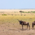 Utazás Kenyába 5. befejező rész - Nagy vándorlás a Marán