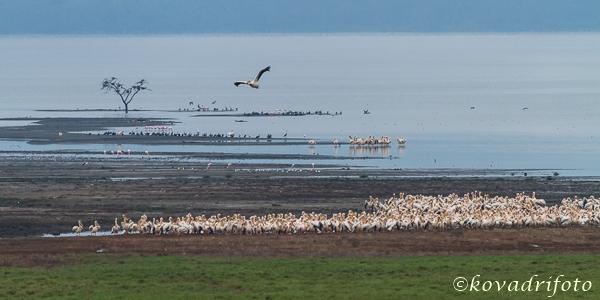 pelikánok a Lake Nakurunál