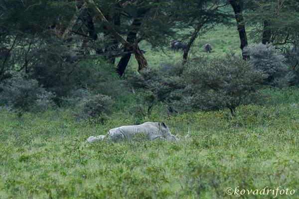 fehér orrszarvú