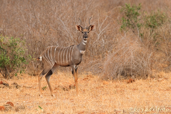 Lesser Kudu: csavartszarvú antilop rendkívül félénk és ritka