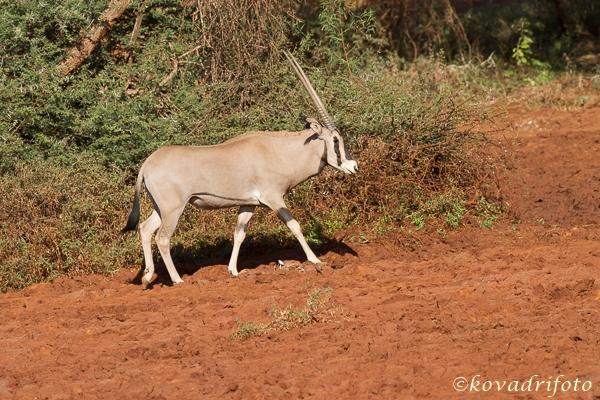 Nyársas antilop