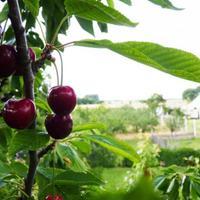 Haszontalan cseresznye