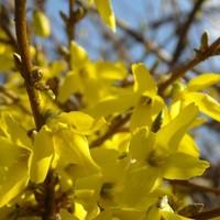 Aranyvessző, a tavasz hírnöke