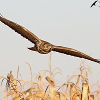 Ragadozó madaraink