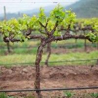 Jó bor lehet a tavalyi szőlőből
