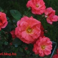 Rózsakrumpli kicsit másképp
