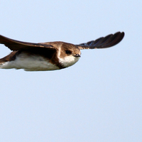 Érdekességek madarainkról: A partifecske és egy távoli rokon
