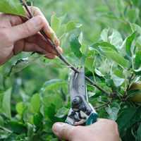 Zöld metszés (nyári hajtásválogatás)