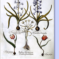 Hogyan ültessünk hagymás virágokat?