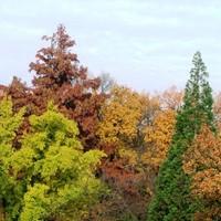 Az amerikai ámbrafa csodája