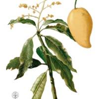 A mangó