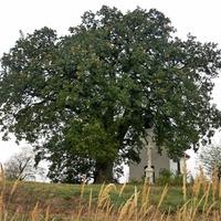 Bátaszék molyhos tölgye az európai év fája