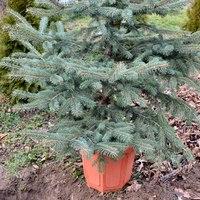 A dézsás karácsonyfa utóélete