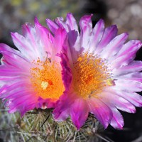 Kaktuszgyűjtők hétvégéje