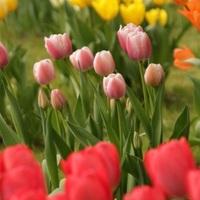Hogyan ültessünk hagymás virágokat manapság?
