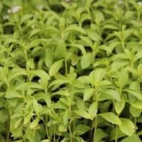 Stevia - cukor az ablakpárkányon