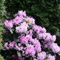 A tavasz legszínesebb bokrai (x)