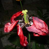 Hagymás virágok: Elnyílástól az őszi felszedésig