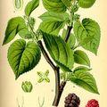 Az eperfa