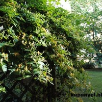 Lonc - virágzuhatag falon, pergolán
