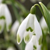 Tavaszi tőzike